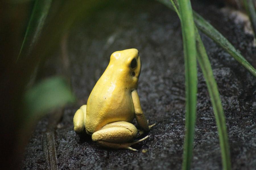 フリー写真 黄色のカエルのモウドクフキヤガエル