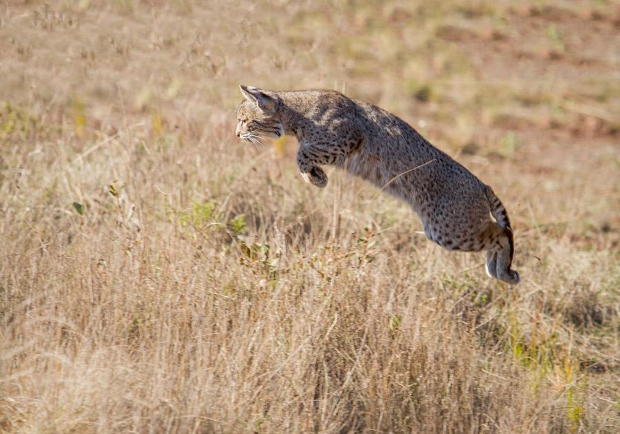 フリー写真 獲物をめがけてジャンプするボブキャット