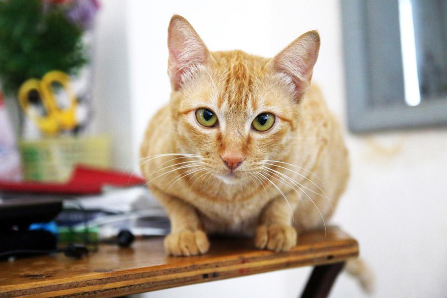 フリー写真 正面から見る茶トラ猫
