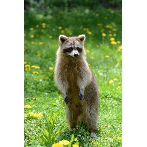 フリー写真, 動物, 哺乳類, アライグマ, 立つ(動物)