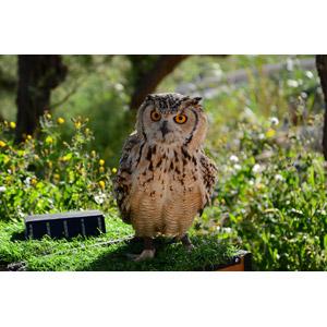 フリー写真, 動物, 鳥類, 猛禽類, 梟(フクロウ), ミナミワシミミズク