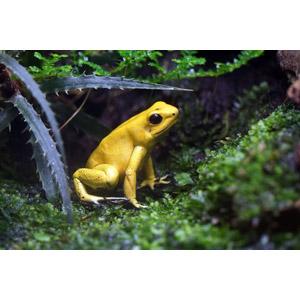 フリー写真, 動物, 両生類, 蛙(カエル), モウドクフキヤガエル