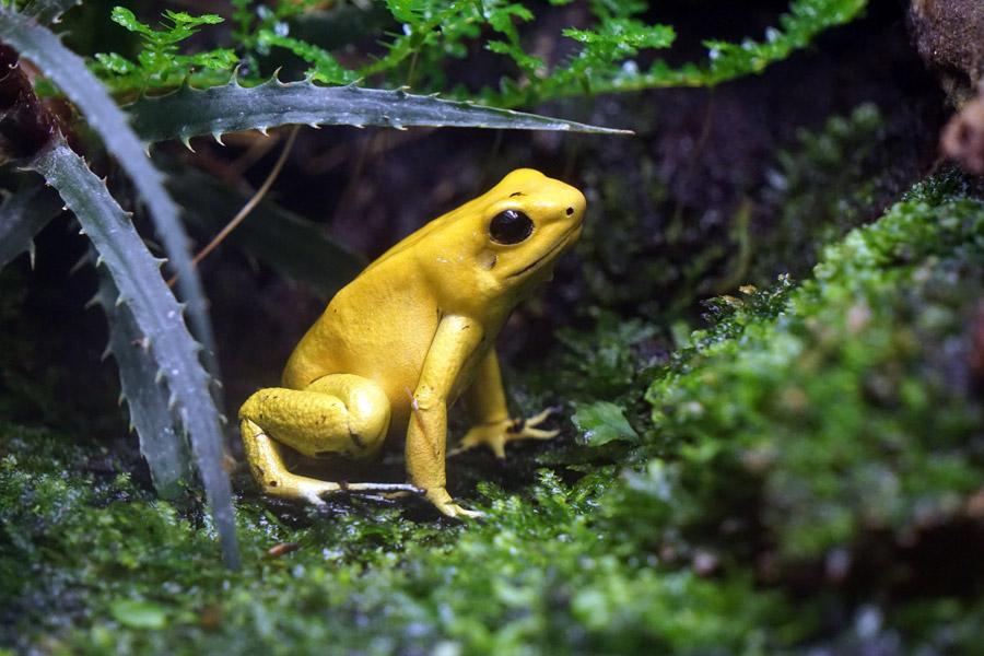 フリー写真 黄色のモウドクフキヤガエル