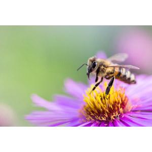 フリー写真, 動物, 昆虫, 蜂(ハチ), 蜜蜂(ミツバチ)