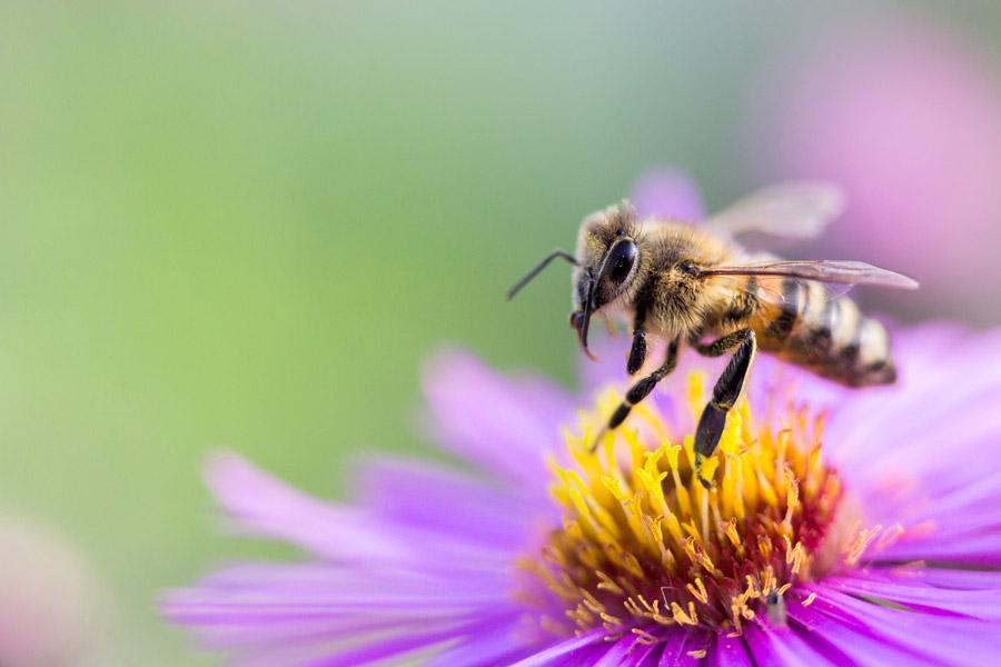 フリー写真 花の上のミツバチ