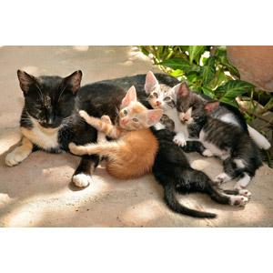 フリー写真, 動物, 哺乳類, 猫(ネコ), 子猫, 子供(動物), 親子(動物)