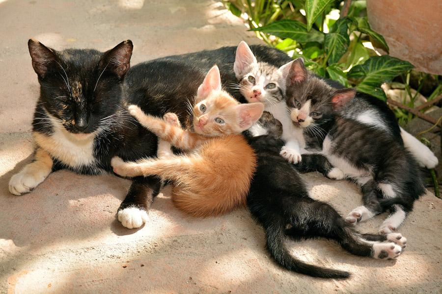 フリー写真 母猫と四匹の子猫