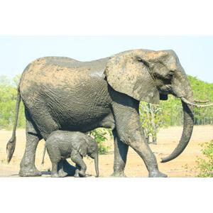 フリー写真, 動物, 哺乳類, 象(ゾウ), 子供(動物), 親子(動物)