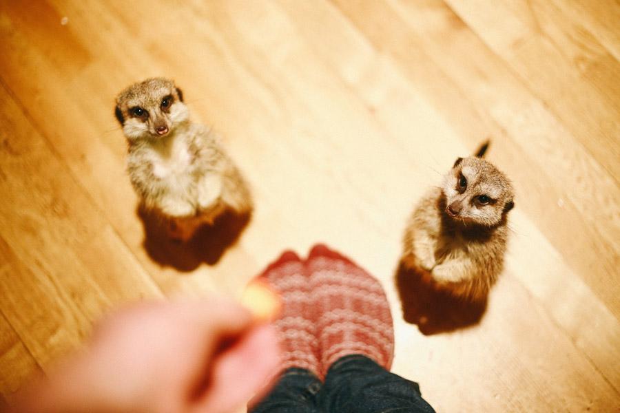 フリー写真 足元に立っている二匹のミーアキャット