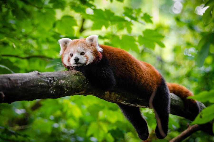 フリー写真 木の上でくつろぐレッサーパンダ