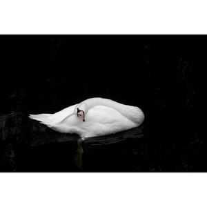 フリー写真, 動物, 鳥類, 白鳥(ハクチョウ), 黒背景