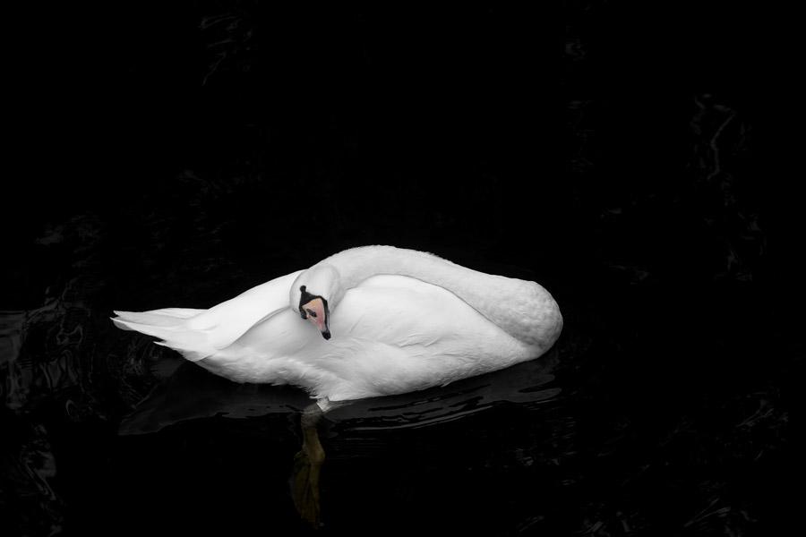 フリー写真 首を傾けている白鳥