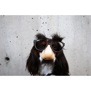 フリー写真, 動物, 哺乳類, 犬(イヌ), キャバリア・キング・チャールズ・スパニエル, 鼻メガネ