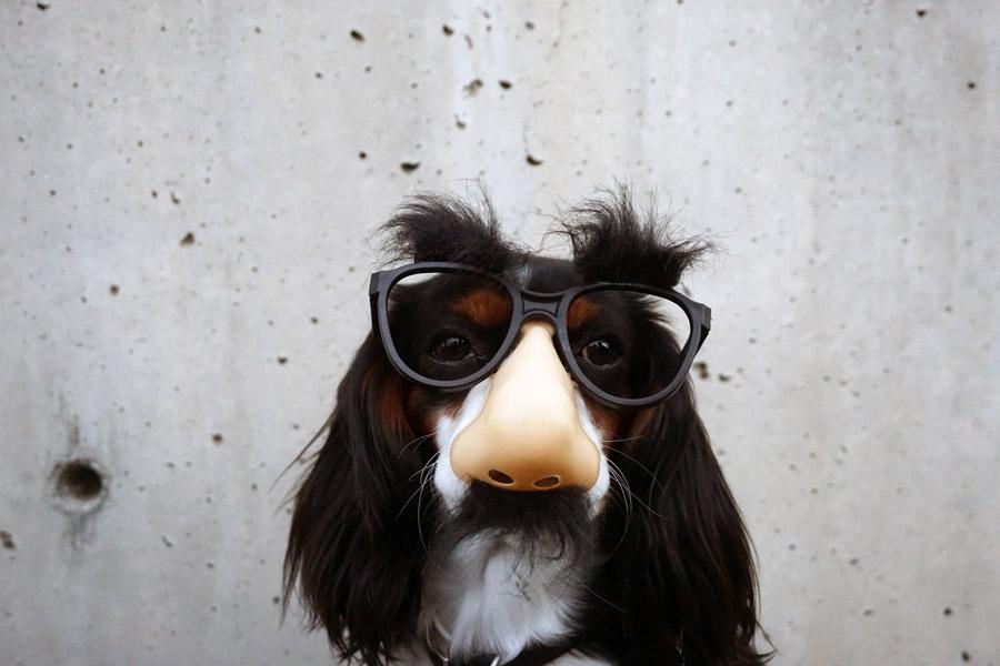 フリー写真 鼻メガネをかけた犬