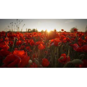 フリー写真, 風景, 植物, 花, ヒナゲシ(ポピー), 赤色の花, 花畑, 夕日, 夕暮れ(夕方), 太陽光(日光)