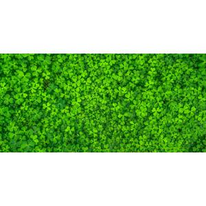 フリー写真, 植物, 雑草, クローバー(シロツメクサ), 緑色(グリーン)