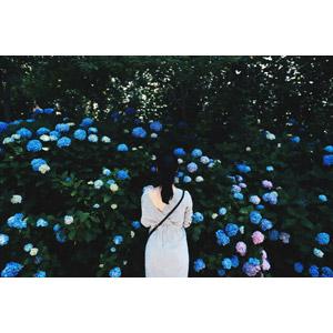 フリー写真, 人物, 女性, 後ろ姿, 眺める, 人と花, 植物, 花, 紫陽花(アジサイ), 梅雨, 6月