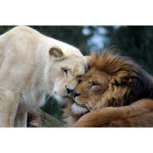 フリー写真, 動物, 哺乳類, ライオン, ホワイトライオン, カップル(動物)