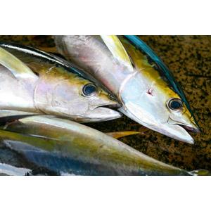 フリー写真, 動物, 魚類, 魚(サカナ), 鮪(マグロ), 食べ物(食料), 魚介類