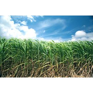 フリー写真, 風景, 畑, 作物, さとうきび, 青空, 日本の風景, 沖縄県, 石垣島