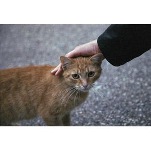 フリー写真, 動物, 哺乳類, 猫(ネコ), 茶トラ猫, 人と動物, 手
