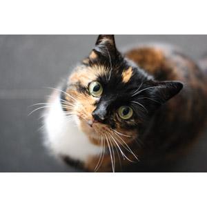 フリー写真, 動物, 哺乳類, 猫(ネコ), 三毛猫, 見上げる(動物)