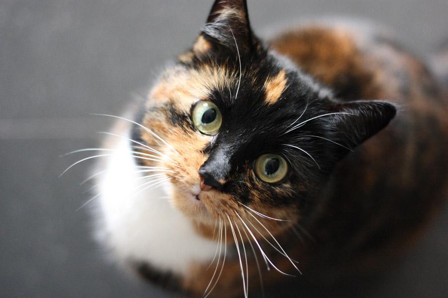 フリー写真 見上げる三毛猫