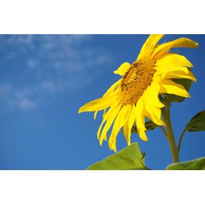 フリー写真, 風景, 植物, 花, 向日葵(ヒマワリ), 黄色の花, 青空, 夏