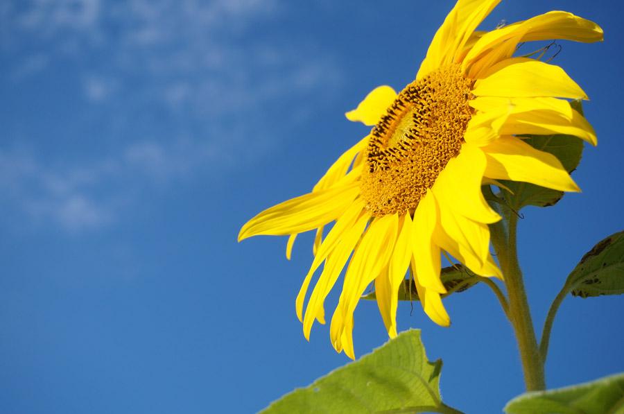 フリー写真 青空とヒマワリの花