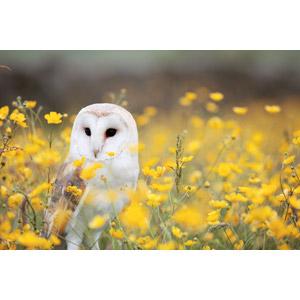 フリー写真, 動物, 鳥類, 猛禽類, 梟(フクロウ), メンフクロウ, 植物, 花, 黄色の花, 花畑