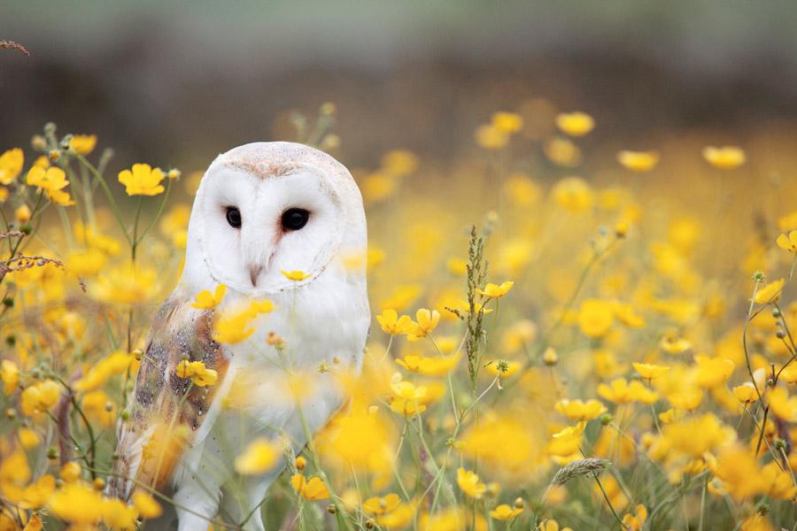 フリー写真 メンフクロウと黄色の花畑