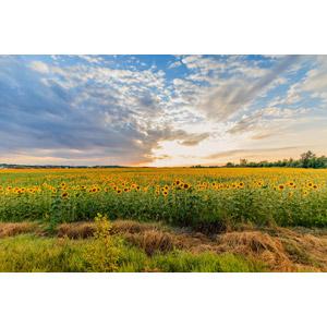 フリー写真, 風景, 夕暮れ(夕方), 植物, 花, 向日葵(ヒマワリ), 花畑, 黄色の花, 夏