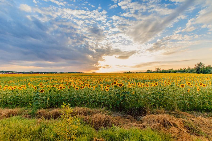 フリー写真 夕暮れのひまわり畑の風景