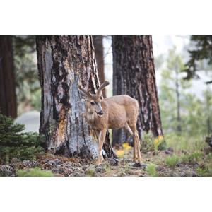 フリー写真, 動物, 哺乳類, 鹿(シカ), 松ぼっくり(松笠)