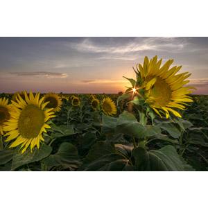 フリー写真, 風景, 植物, 花, 向日葵(ヒマワリ), 黄色の花, 夏, 夕暮れ(夕方), 夕日, 太陽光(日光)