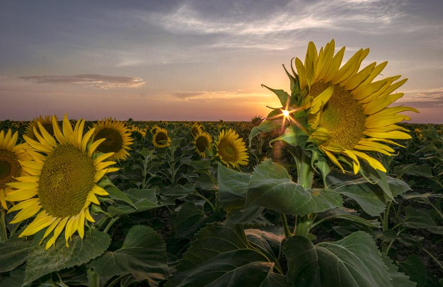 フリー写真 夕日とひまわり畑の風景