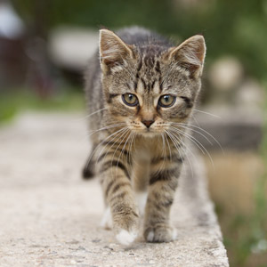 フリー写真, 動物, 哺乳類, 猫(ネコ), 子猫, 子供(動物), キジトラ猫