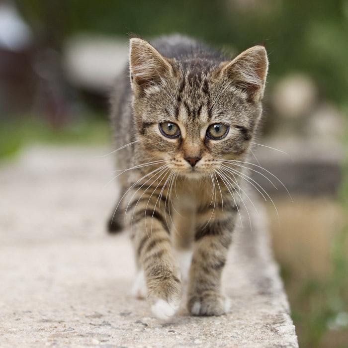 フリー写真 近づいてくるキジトラの子猫