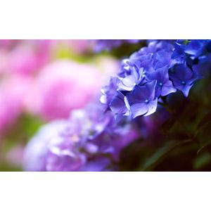 フリー写真, 植物, 花, 紫陽花(アジサイ), 梅雨, 6月
