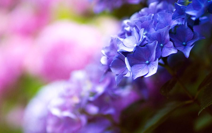 フリー写真 横から見るあじさいの花