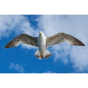フリー写真, 動物, 鳥類, 鳥(トリ), 鴎(カモメ)