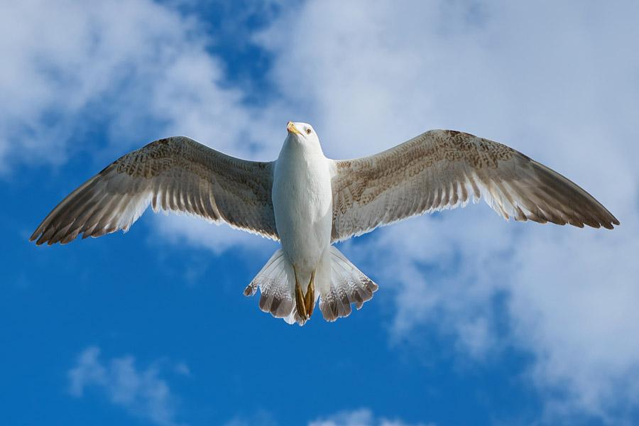 フリー写真 青空を飛ぶカモメ