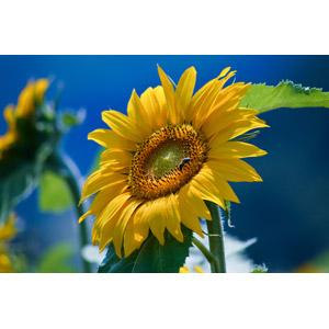 フリー写真, 植物, 花, 向日葵(ヒマワリ), 黄色の花, 蜂(ハチ)