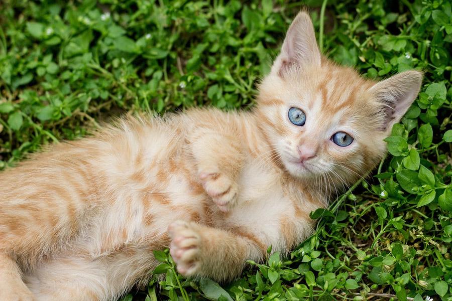 フリー写真 草の上に寝転ぶ子猫