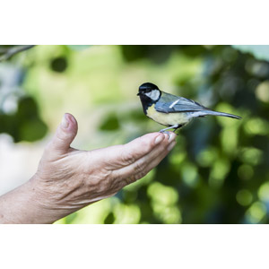 フリー写真, 動物, 鳥類, 鳥(トリ), アメリカコガラ, 人と動物, 手
