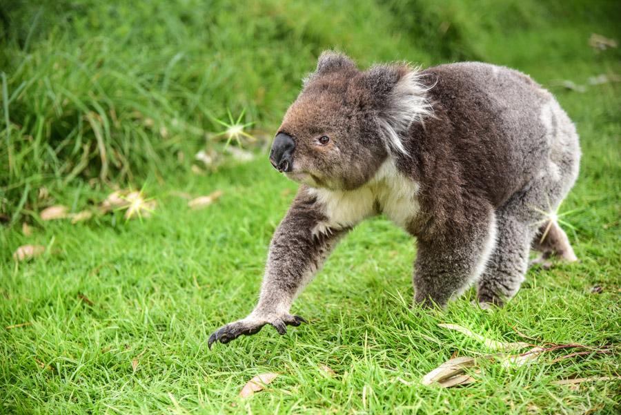 フリー写真 地面を歩くコアラ