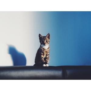 フリー写真, 動物, 哺乳類, 猫(ネコ), 子猫, 子供(動物), キジ白猫