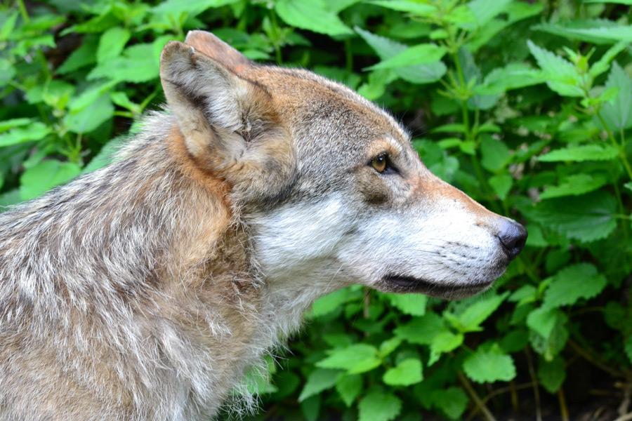 フリー写真 オオカミの横顔