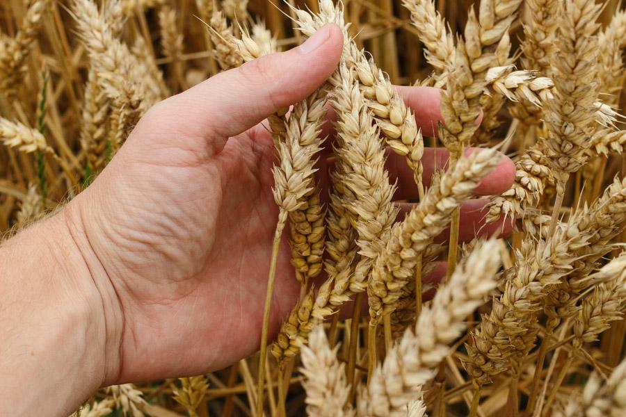 フリー写真 実った小麦に触れる手