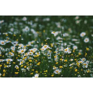 フリー写真, 植物, 花, ヒナギク(デージー), バターカップ, 白色の花, 黄色の花, 草むら